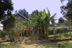 Our shamba (garden) and  banana trees