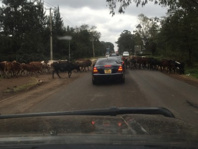 Traffic stopped on one of Nairobi's busiest roads, by a herd of cows.  En route to mechanic.